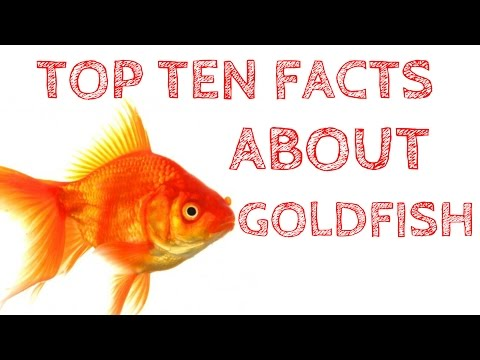 TOP 10 Facts About Goldfish That Will Blow Your Mind