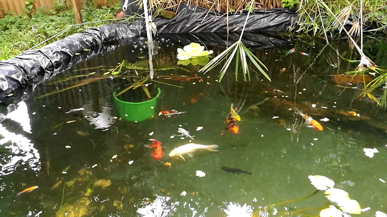 Estanque con peces koi youtube for Peces para limpiar estanques