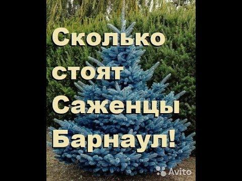 Сколько стоят саженцы хвойных деревьев, Барнаул, АЛТАй!