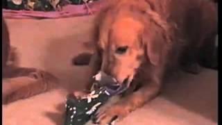Pies odpakowuje prezent