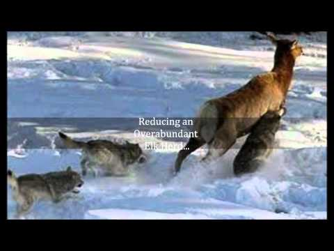 Yellowstone Wolf Reintroduction