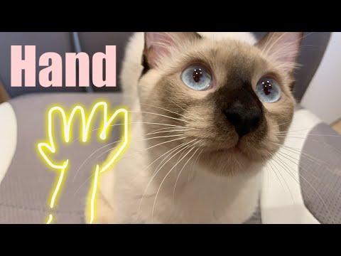 고양이 손 훈련 Cat's Training With Hands | Cheecoo