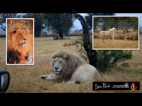 White Lion - Lion Park -  Johannesburg - South Africa, June 27, 2015
