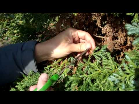 Winter Series: False Cypress Preparation (pruning Of Brown Leaves) For Bonsai.mp4