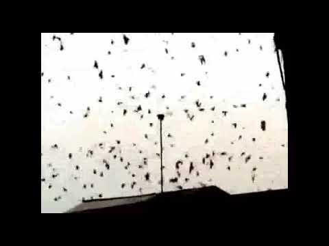 Sukses Baru ON Air  13 Bulan RBW Diserbu Burung Walet