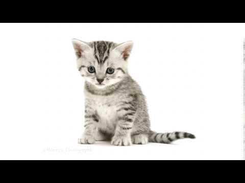 Kitten meowing Sound Effect