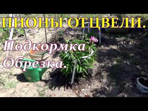 Вопрос: Как правильно ухаживать за пионами после цветения?