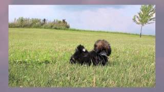 Imperial/aca/shih-tzu Puppies | Abigail-chip-bruno-max