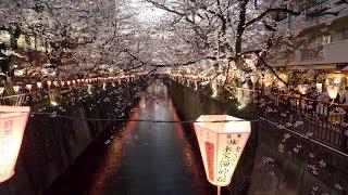 【4K】Night Meguro in sakura