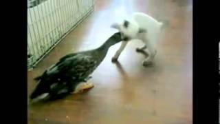 прикол!! ржач! кот и утка))