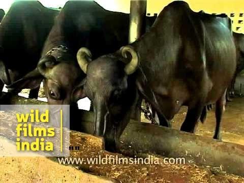 buffalo breeding business plan