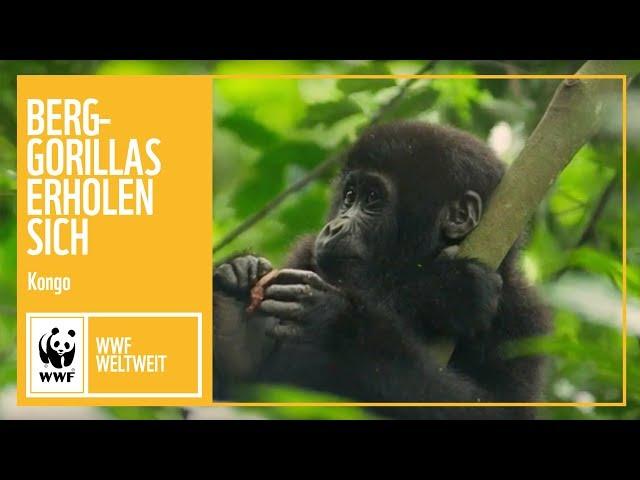 Kongo: Berggorillas erholen sich | WWF weltweit | WWF Deutschland