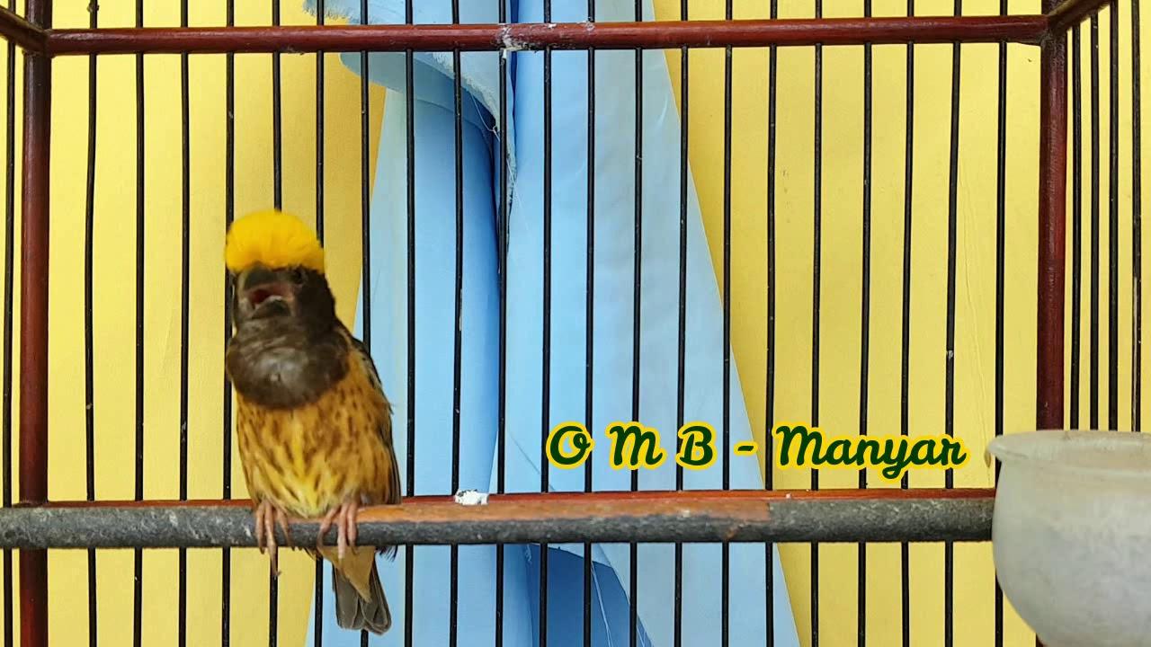Masteran Manyar Kembang Cocok Untuk Urai Batu Dan Burung Manyar Bakalan Youtube
