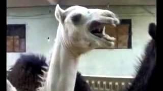 Как смеётся верблюд