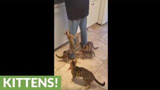 Kittens swarm owner for their breakfast