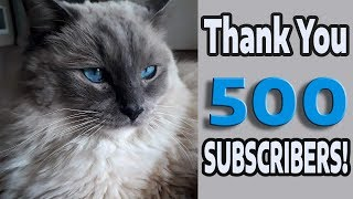Thank You - 500 subscribers! (Bowie the Ragdoll Cat)