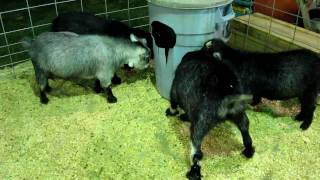 Goats butting heads at Plumas-Sierra County Fair