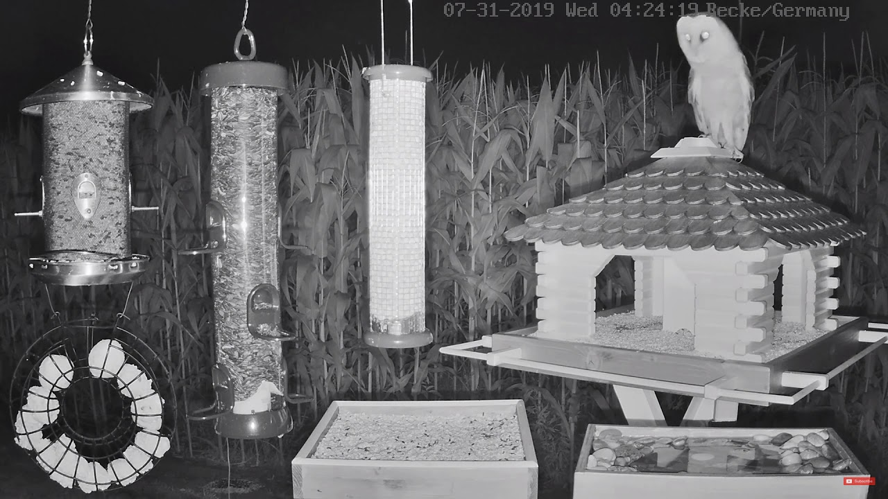Barn Owl on the German Cam at BWHQ - YouTube