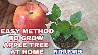 How to grow Apple tree from seed at home // घर पे सेब का पौधा कैसे उगाएं.. easy method