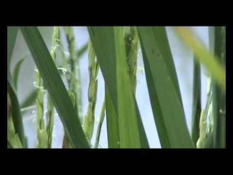 Oryza Sativa: The Master Plant