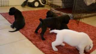 Sangreal K Litter -boxer Puppies For Sale From European Breeder