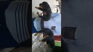 Rottweiler  and leb dog breeder in patna agamkuyan  bihar(2)