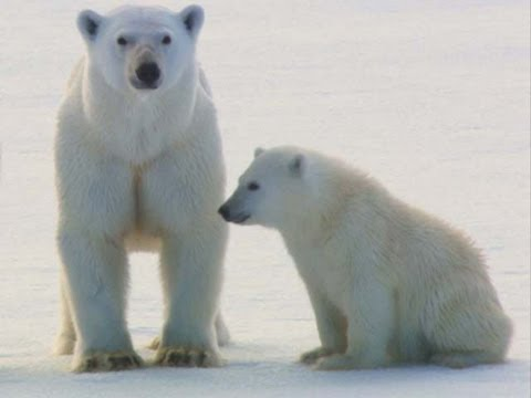 A rare view of the world of polar bears