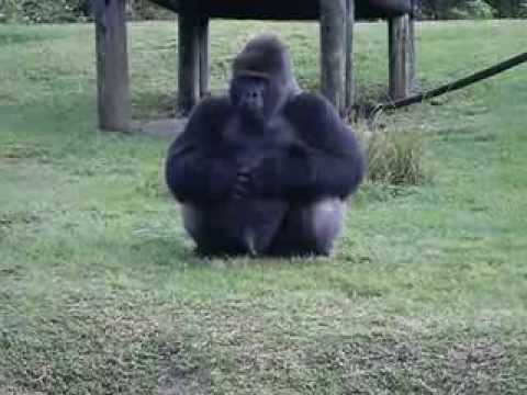 Gorilla using sign language at Miami Zoo telling someone he can't be fed...