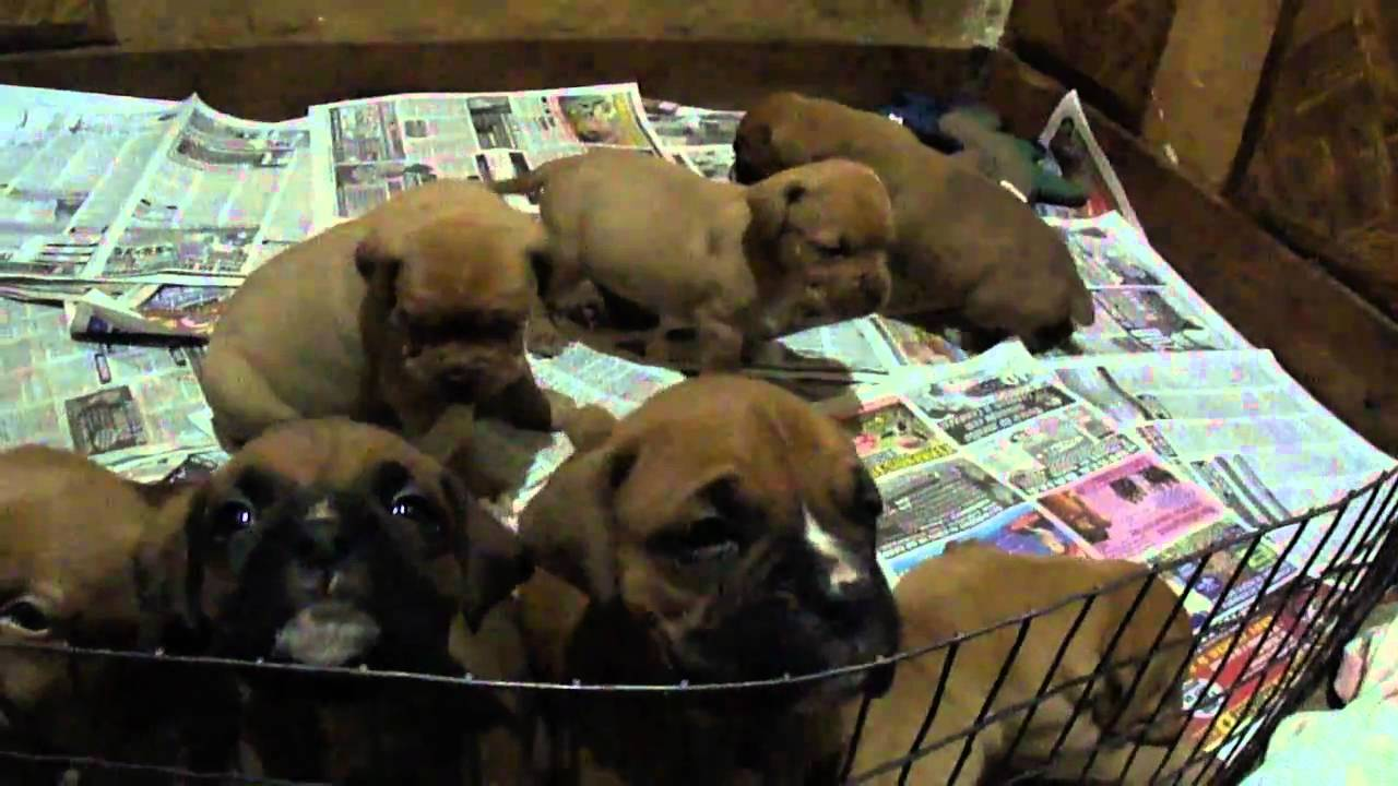 4 Week Old Boxer And French Mastiff Dogue De Bordeaux Pups Playing