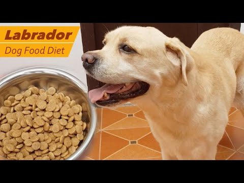 Labrador dog feeding - Dog Food Diet