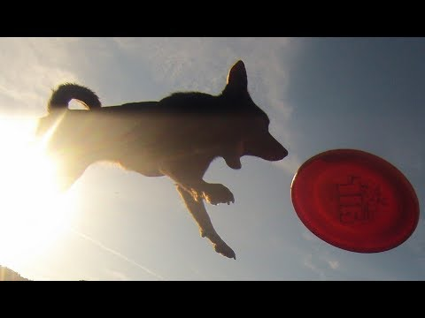 Australian Kelpie tricks, frisbee and agility !
