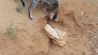 Охота. Кошка и крыса. צייד חתול וחולדה.