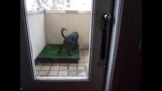 Stanton Rings Bells to go potty on Pet Loo