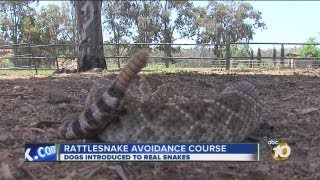 Dogs Being Trained To Avoid Rattlesnakes: Real Snakes Used In Training Course