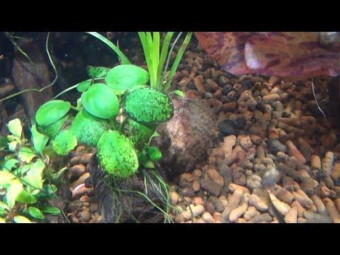 Как очистить аквариумные растения от черной бороды