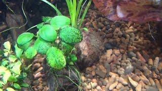Как избавиться от Чёрной бороды,Вьетнамки и т.д.  Обеззараживание аквариумных растений.