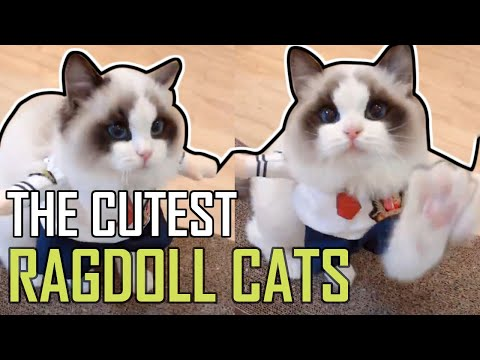 Super Cute Bicolor Ragdoll Kittens Compilation 2019