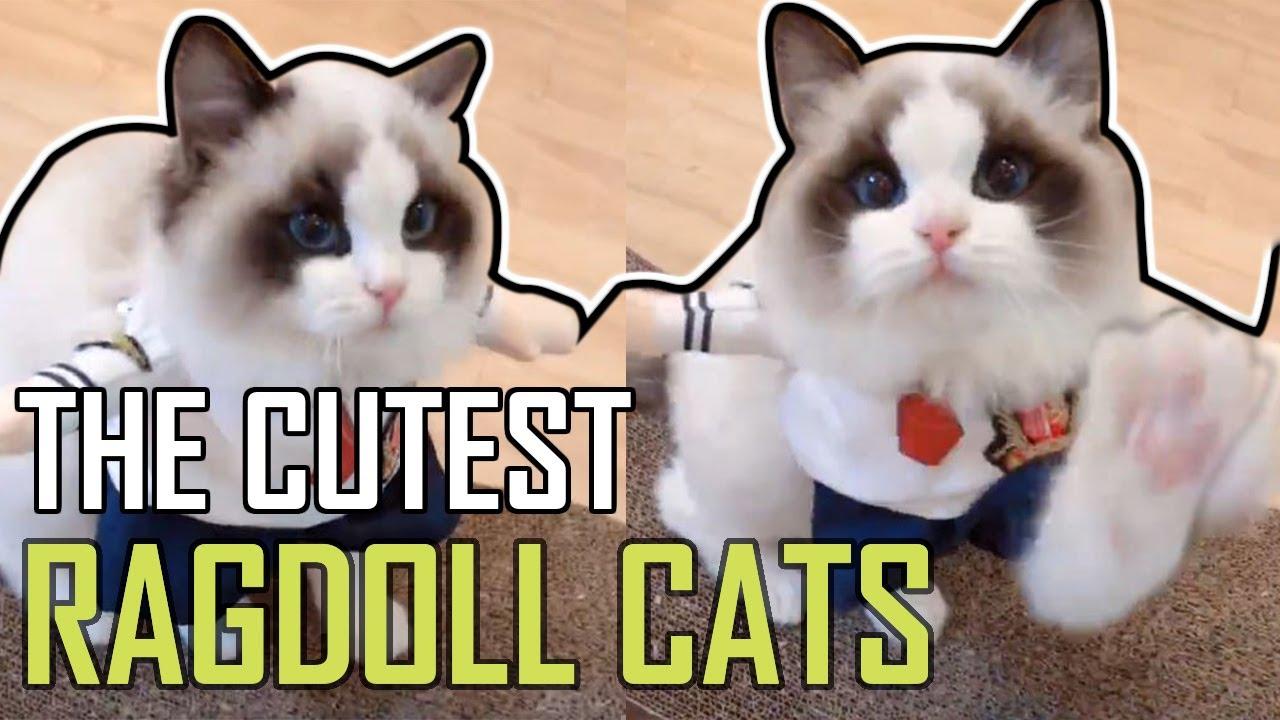 Super Cute Bicolor Ragdoll Kittens Compilation 2019 Youtube