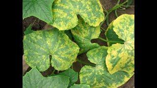सब्जिओं में आने वाली खतरनाक बीमारी ॥ Dangerous disease of vegetables