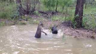 Kangourou qui se défend face à un chien . Impressionnant !