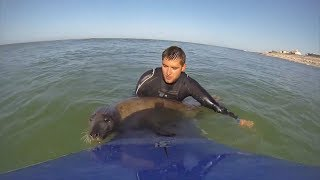 Adorable curious seal plays with surfers in France