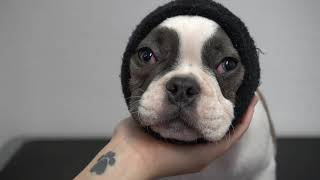 Very Cute French Bulldog Puppy