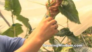 How to Prune Your Cucumber Plant