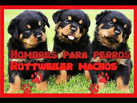 Mas de 20 Nombres para perros Rottweiler machos 🐶 (NOMBRES para PERROS rottweiler 👍)