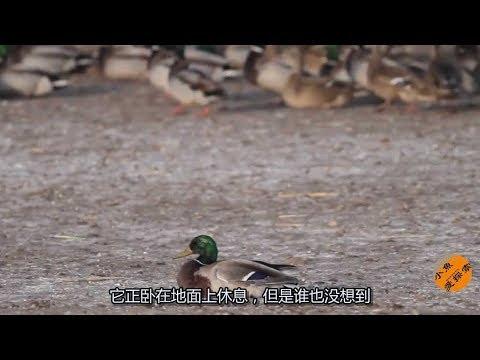 这只鸭子突然死亡,摄影师把镜头放慢6倍才搞清楚发生了什么