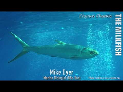 Fishing Species 2018  - The Milkfish