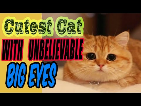 Biggest Eyes of CAT - Most cutest CAT of the world - Cute cats video-Cat funny-Trending Infotainment