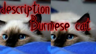 Burmese cat (Sacred Burma) description| history of origin of breed is not exactly known