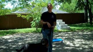 Riley The Lab | Redeeming Dogs | Dallas Dog Training