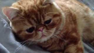 She just wants some morning hugs - Mila the exotic shorthair kitten